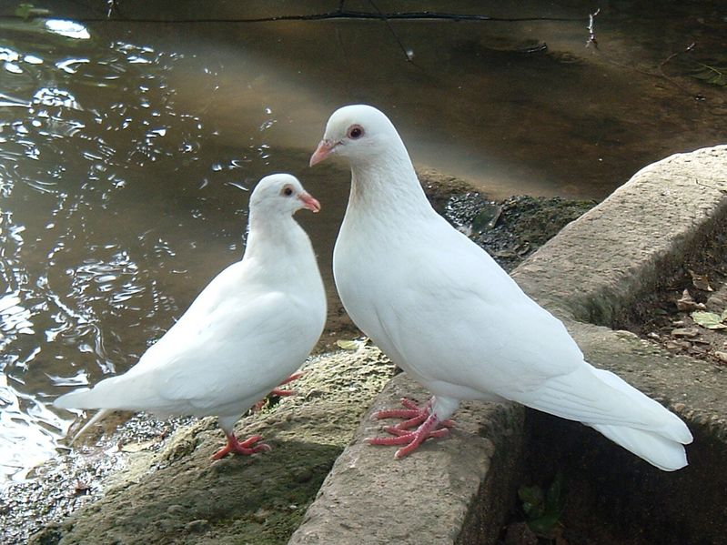 White Doves Near Waters Edge